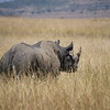 I am an extremely rare Black Rhino
