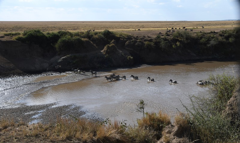 Zebra migration - extremely dangerous river crossing