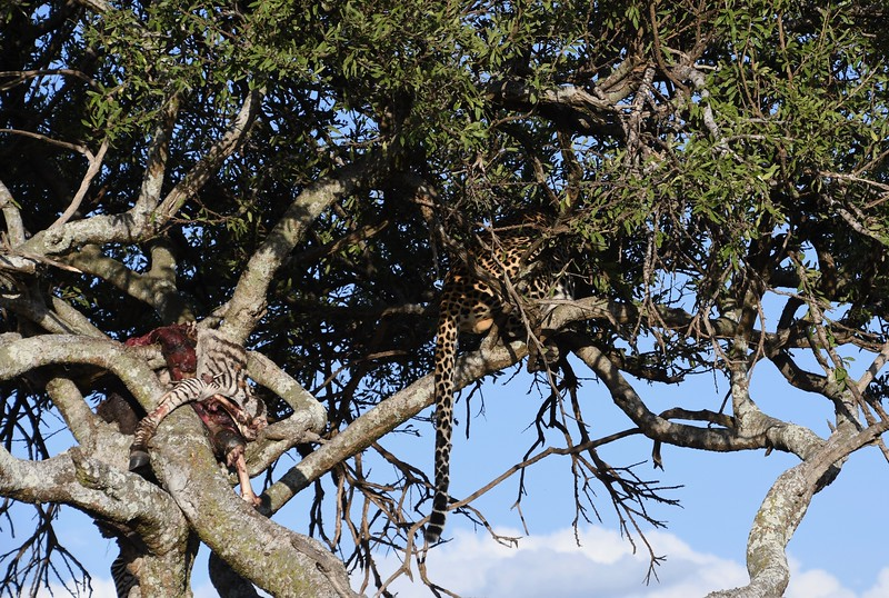 To Joseph's delight, this leopard dragged most of its dinner up this tree.