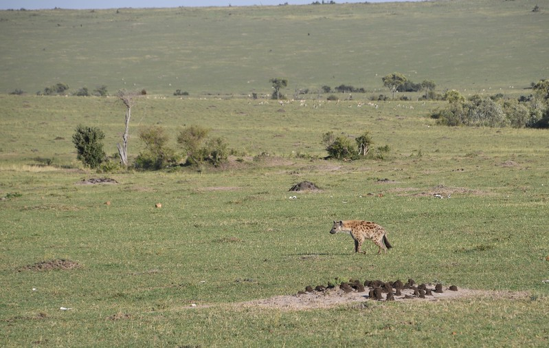 Spotted Hyena patiently waiting for scraps