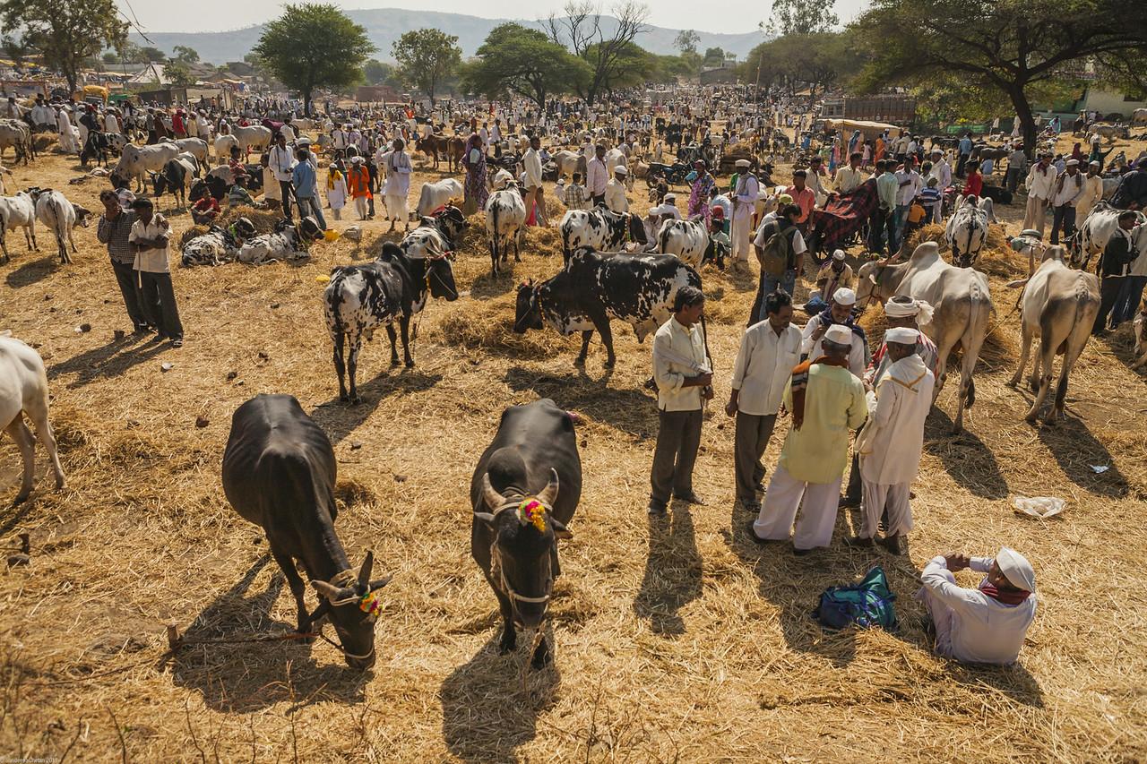 Annual cattle fair at Rajur, Maharashtra, India