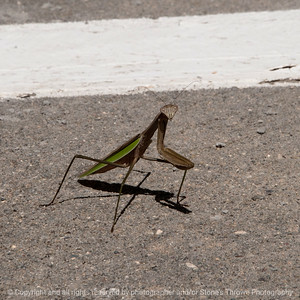 015-insect_mantis-wdsm-22aug16-12x12-006-1032