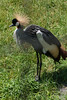 Gray Crowned-crane (Balearica regulorum)