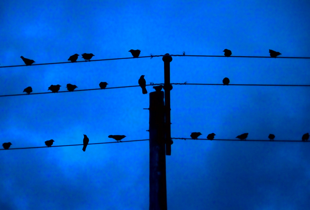 crows and utility pole