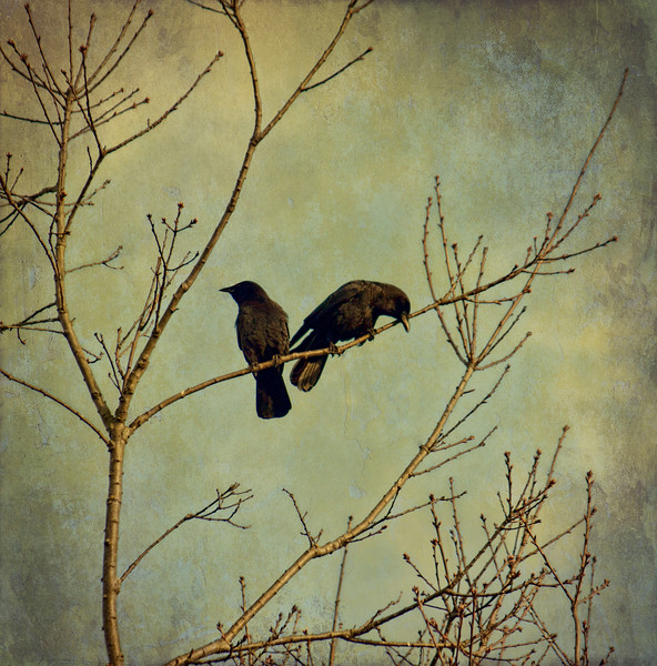 2 crows textured - Copy