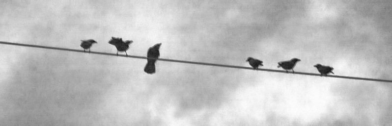 bw birds on a wire