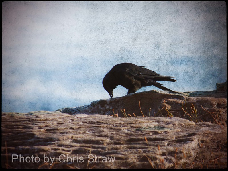Crow At Orlebar Point