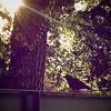 Crow in the Morning Sun