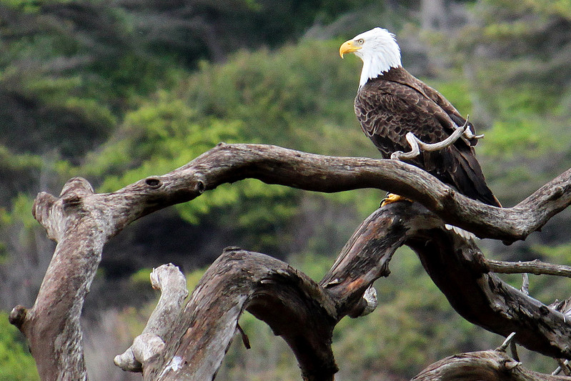 Bald Eagle On Dead Arbutus
