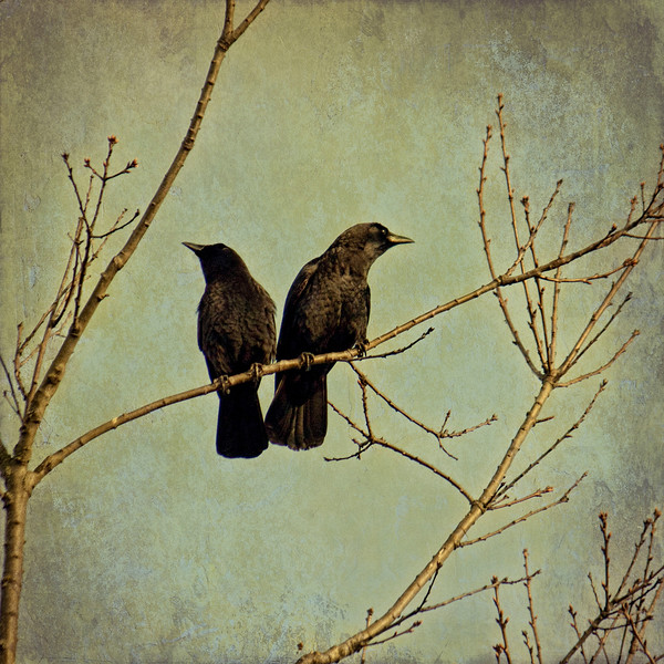 2 crows in a tree - Copy