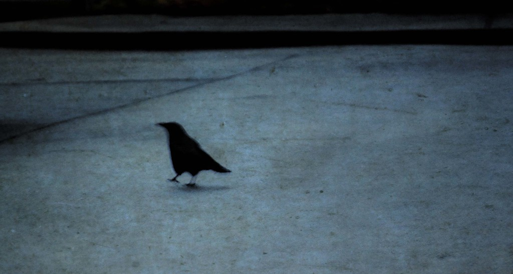Street Crow