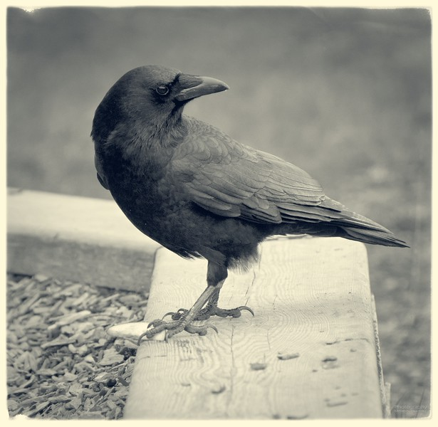 Crow with apple slice