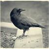 Crow with apple slice
