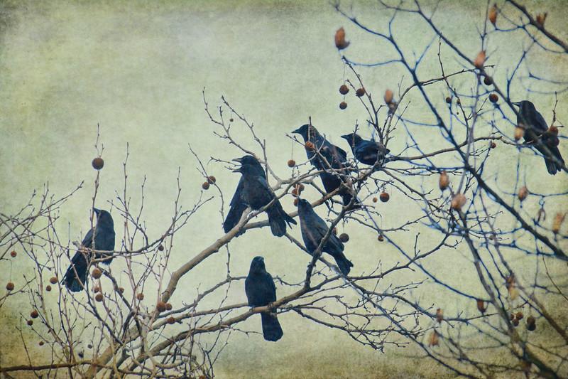 crowsinbush