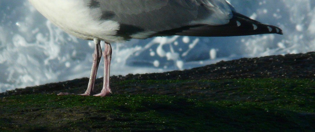 Seagull Legs