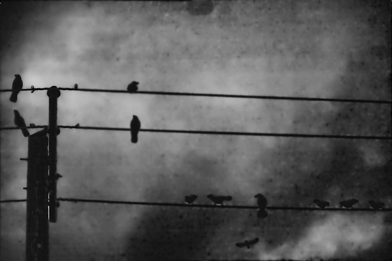 nigh crows BW