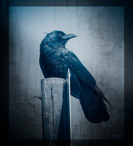 Alfalfa Crow