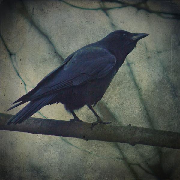 crowonbranch