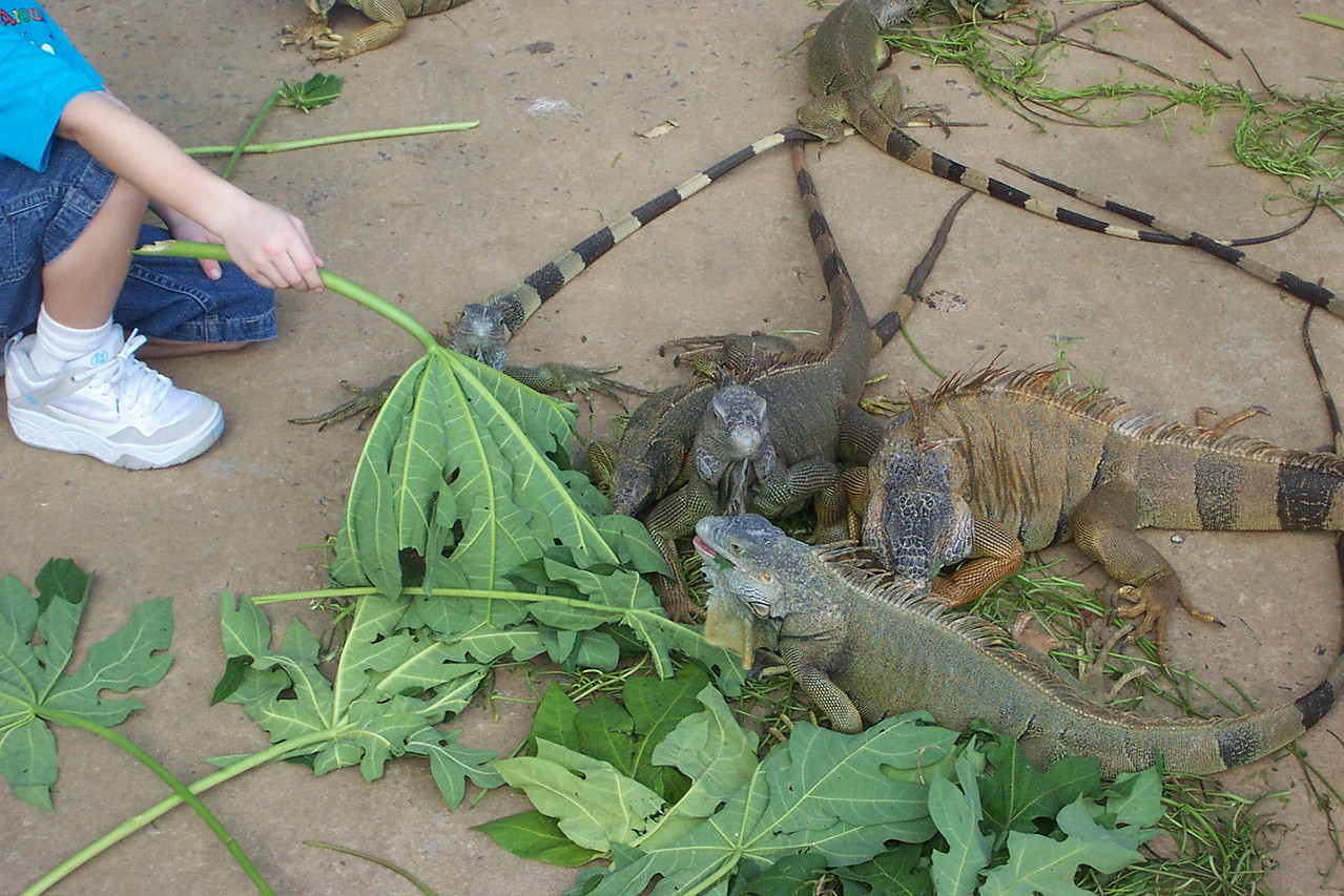 The first stop on our tour was at a place called Sherman's Iguana Refuge.<br /> [Roatan, Honduras]