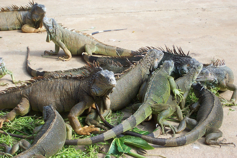 Iguanas are both creepy and cool.<br /> [Roatan, Honduras]