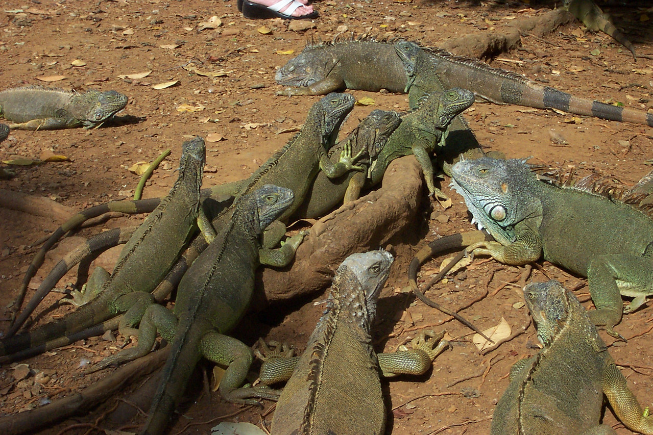 But the emphasis at the refuge was definitely on iguanas.<br /> [Roatan, Honduras]