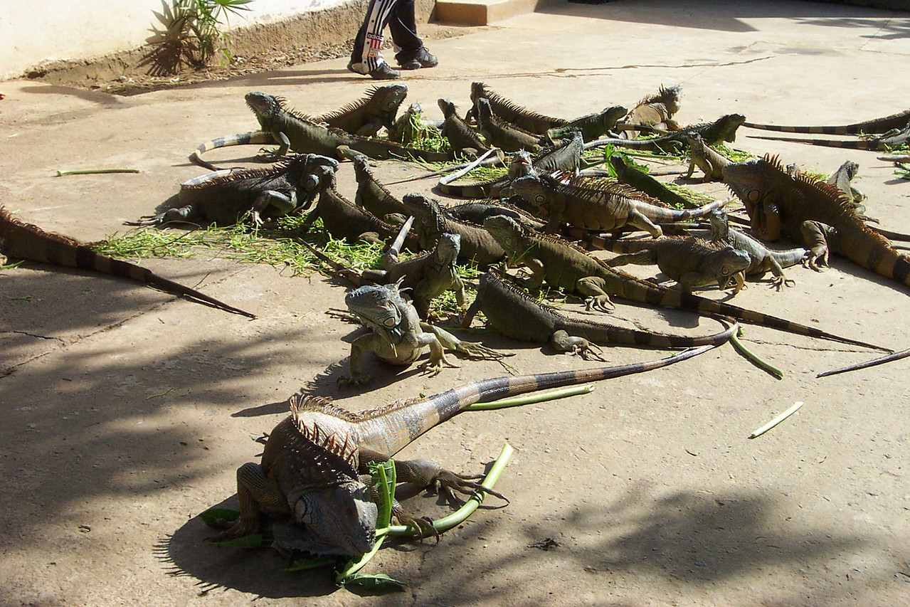 There were so many iguanas at the refuge!!<br /> [Roatan, Honduras]