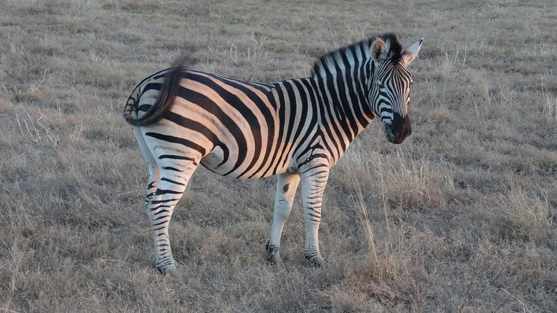 Zebras are very Beautiful animals for sure!