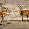 There's some Impalas... a very common animal in Southern Africa... and they're absolutely Beautiful!