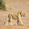 Lionesses!