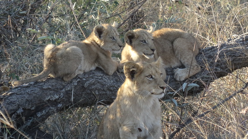"Here's a cute pack of Lion ""Cubs"" we came across."