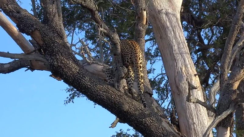 Watch this video to see him climb this tree... it'd take us longer to get up there for sure! :-)