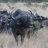 "There's some ""Cape"" Buffalo."