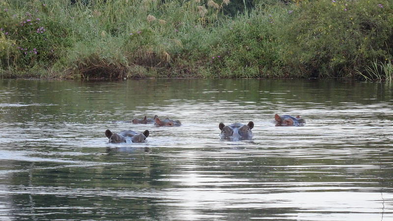 Hippos, one of the most dangerous animals in the Wild... we never got too close to these guys! :-)
