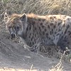 Here's a little video of a Hyena... cool, right! :-)