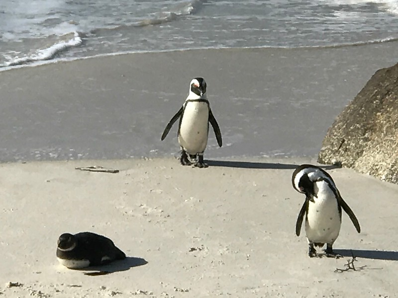 "Another highlight of this day's excursion was our visit to ""Boulders Beach"" which is home to many of these little guys! :-)"