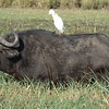 """Cape"" Buffalo are dangerous guys themselves so although nice to look at never try taking one on.. although, that little bird didn't look too scared! :-)"