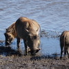 We saw lots of more interesting animals that day like these warthogs.