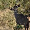 "There's a female ""Kudu""... FYI, the guys have big horns."