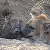 The Hyenas may look cute (especially the babies) but don't mess with these guys! :-)