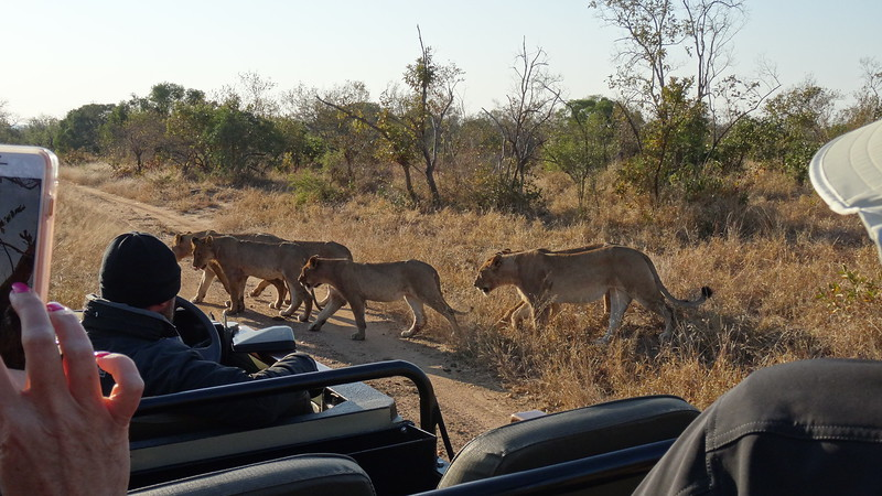 Lionesses right outside our jeep... amazing!!