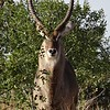 There's a Buck... impressive horns!!