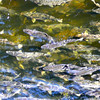 There's a few of the thousands & thousands & thousands of salmon we saw swimming upstream while in Ketchikan.
