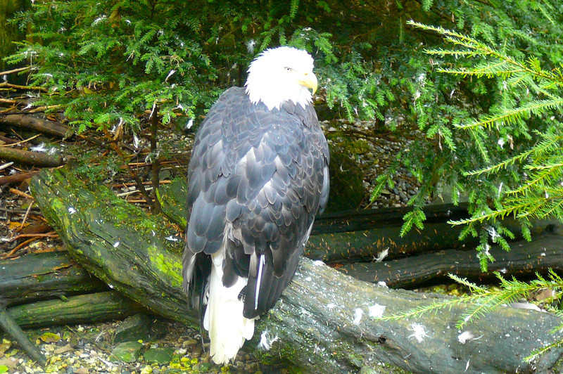 Here's one of the Beautiful Eagles that the preserve has helped out. FYI, they take great care of them there and are helping Eagles who can't fly anymore due to injury, so don't worry, they're not in captivity. :-)