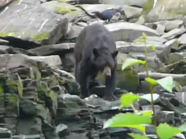 "Watch this Video to check out the Bears we saw at ""Neet's Bay"", near Ketchikan, Alaska feeding on Salmon... amazing!!"