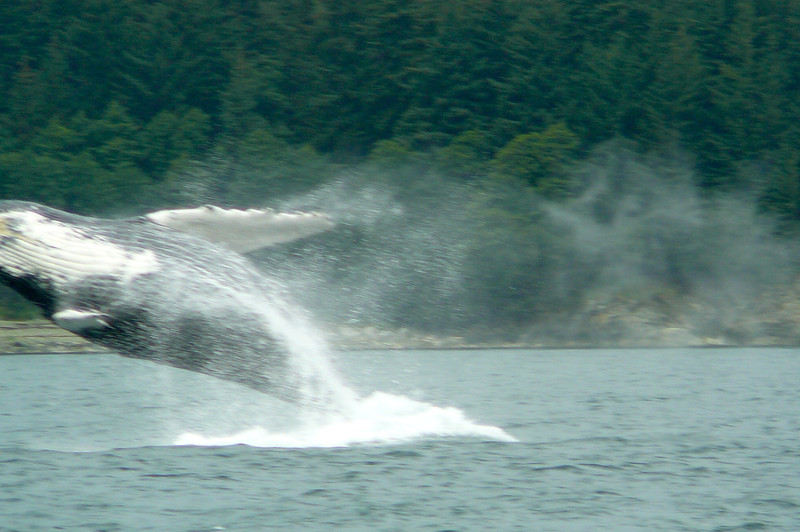 "This pic is pretty self explanatory... Awesome!! We were one of the lucky ones who actually got to see a Whale ""Breeching""... you can't ask for more then that when Whale Watching in Juneau!!"