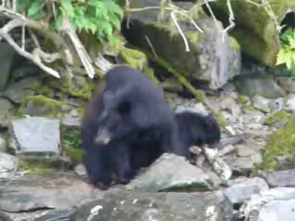 Here's a Video clip of mama bear and her cub in Neet's Bay, Alaska.