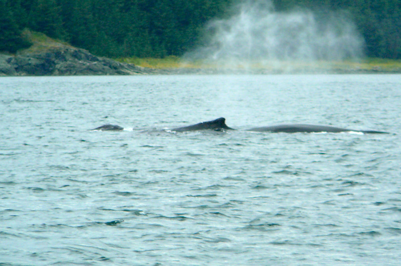 "You think being from Newfoundland originally Whales wouldn't excite us too much but seeing them in Alaska was pretty awesome... there's a glimpse of some of them doing a little breathing through their ""spouts""... their breathing is a little more powerful then ours as they can ""spray"" up to about 13 feet in the air!"