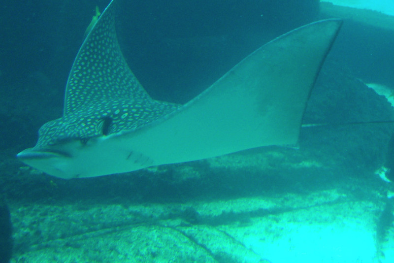 Make sure if you head over to Atlantis during your port stop to check out the free aquarium there... they have tons of amazing things to see there like this Stingray for example!
