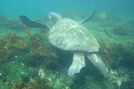 As we snorkeled throughout the week we saw Sea Turtles...