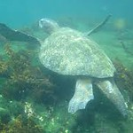 As we snorkeled throughout the week we saw Sea Turtles...